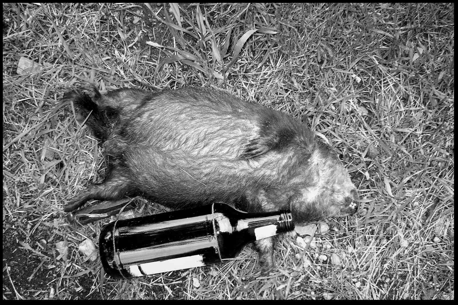 Marmotte morte